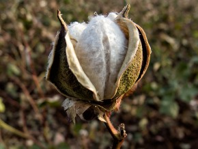 Better Cotton in Turkey Steps Up It's Game