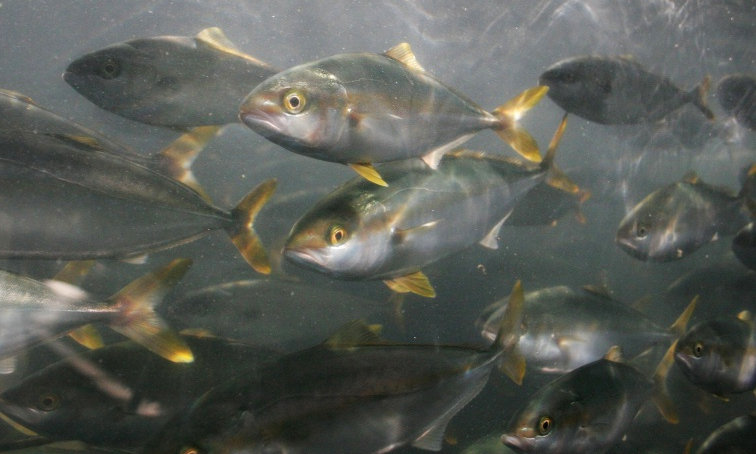 Fish farming overcrowding